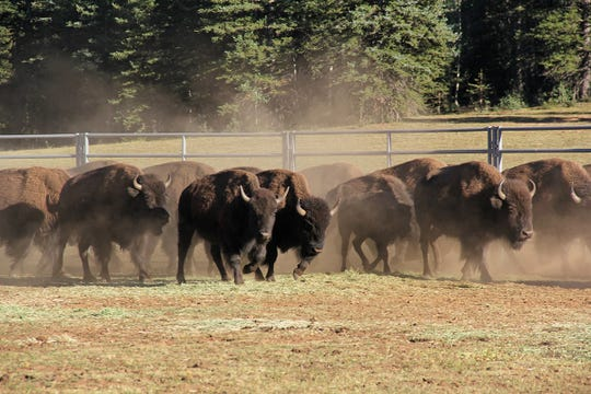 Bison enter a corral on the Grand canyon's North Rim as part of a plan to transfer 31 of the animals to a herd with the Quapaw tribe in Oklahoma.
