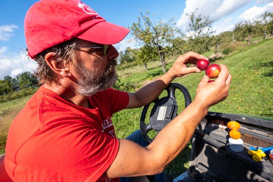 Ray Peltier, owner of McCallum's Orchard & Cider Mill in Jeddo, compares two Rome apples plucked from one of the trees on his property Monday, Sept. 23, 2019.