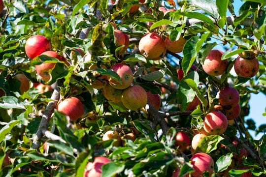 Fuji apples hang on a tree at McCallum's Orchard & CIder Mill in Jeddo.