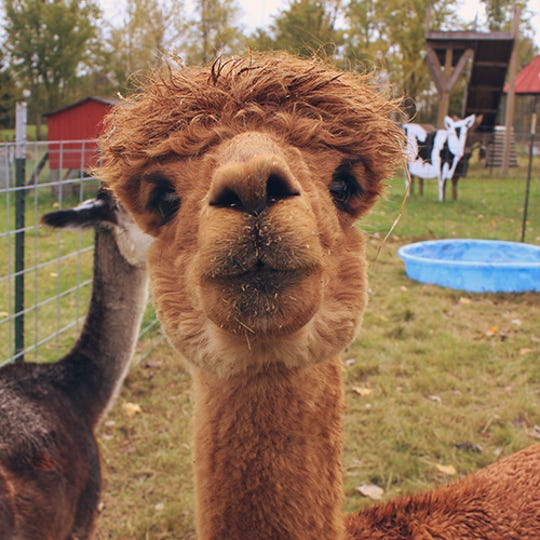 A llama and alpaca are some of the animals that can be found in the CornFun Corn Maze Adventure And Pumpkin Patch petting zoo in Casco.