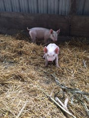 Two pigs are included in the petting zoo at O'Hair Farms in Croswell.