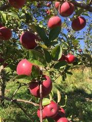 Apples grow at Pankiewicz Cider Mill & Farm Market in Casco.
