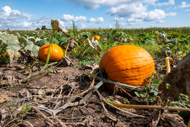 Pumpkins attached to the plant sit on the ground at McCallum's Orchard & Cider Mill Monday, Sept. 23, 2019. The orchard has a 2.5-acre pumpkin patch.