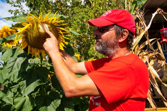 Ray Peltier, owner of McCallum's Orchard & Cider Mill, talks about the different varieties of sunflowers found on the property Monday, Sept. 23, 2019, in Jeddo.