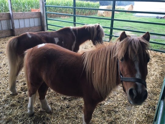 Miniature horses are some of the animals included in the O'Hair Farms petting zoo in Croswell.