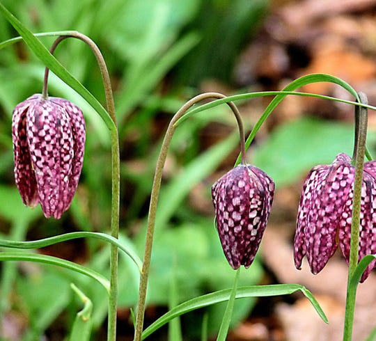 Native checker lily (Frittilaria affinis) is a pretty addition to a spring garden. Photo by Hornbeam Arts.