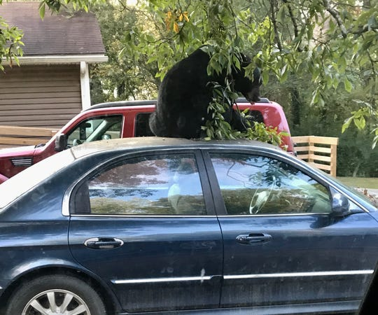 A bear enjoys a snack on top of an East Asheville car.