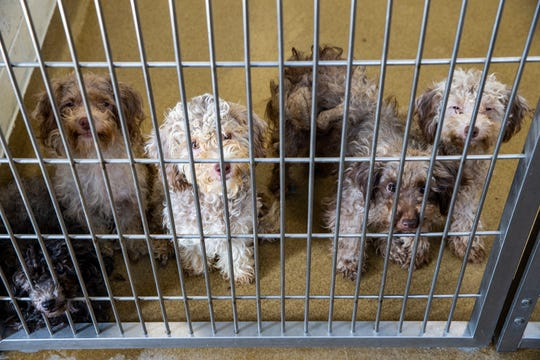 A group of poodles rescued Monday from a hoarding situation in Warren County are being cared for at the Humane Association of Warren County in Lebanon Tuesday, September 24, 2019.  One hundred eleven dogs were removed from a Warren County home after a call to assist on a voluntary surrender of 20-to-30 dogs.