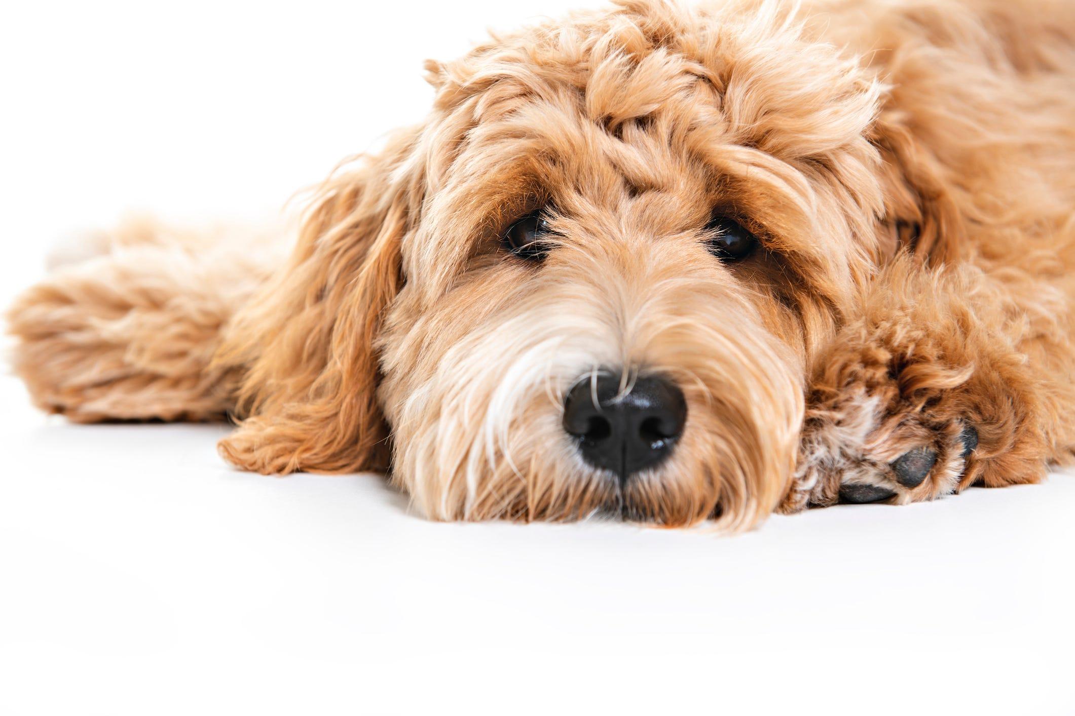 5 most popular dog breeds in Detroit: Labradoodle tops list