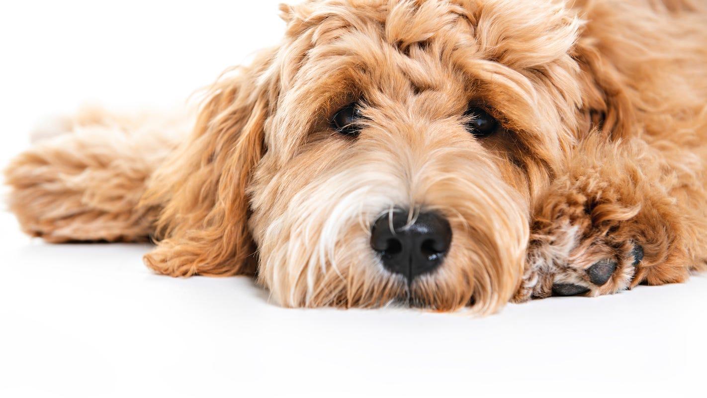 5 Most Por Dog Breeds In Detroit