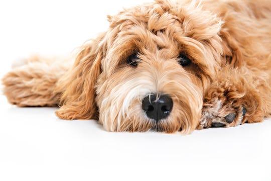 A Golden Labradoodle dog.