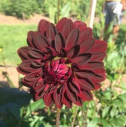 More than 100 varieties of dahlia grow on Detroit Abloom's cut flower farm in the city's Jefferson-Chalmers neighborhood. The nonprofit will hold a Dahlia Festival on Sunday.