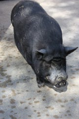 Ozzie, a 19 year old pot-bellied pig who lived at the Greenville Zoo, recently died.