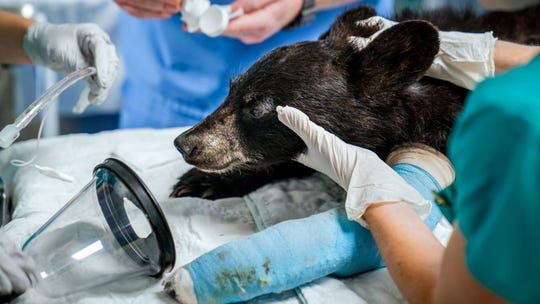 A female black bear cub underwent surgery at Janet L. Swanson Wildlife Health Center, at the Cornell University Hospital for Animals, after it was struck by a car.