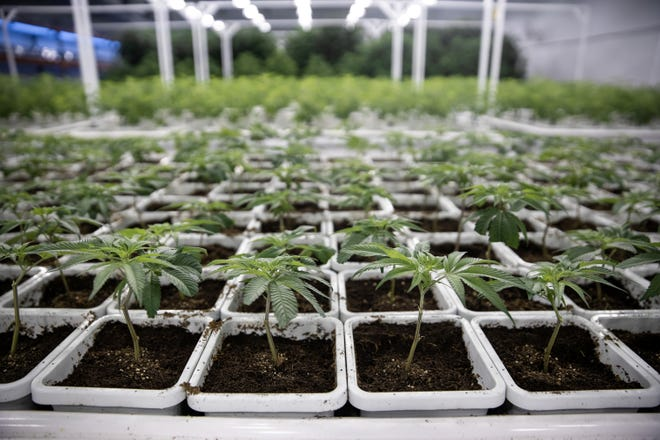 Cannabis grows in Leafline Labs headquarters in Cottage Grove, Minnesota. The 42,000-square-foot indoor cultivation and production facility is used to grow marijuana for medical uses and create various pharmaceutical cannabis products.