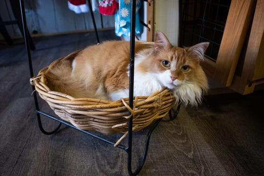 Banjo, one of the cats that lives at Ufuri in Port Huron, relaxes in a basket in the store Tuesday, Sept. 24, 2019. Banjo is a 7-year-old cat found in a chicken coop by Spring Burrell, the store's owner.