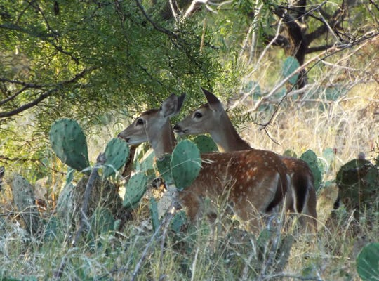 Fawns enjoy the shade at San Angelo State Park on Monday, Sept. 23, 2019.