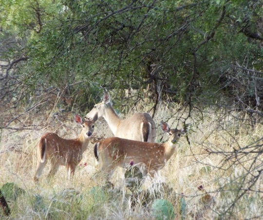 Deer glance at the camera from among the scrub at San Angelo State Park on Monday, Sept. 23, 2019.