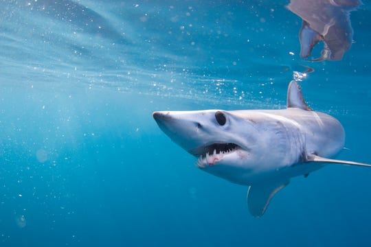 A Juvenile shortfin mako shark swimming in the waters off California.