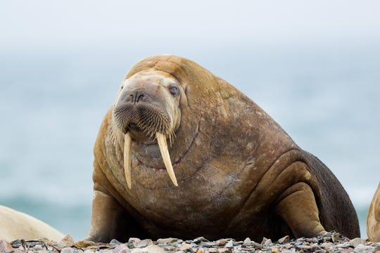 Don't mess with the walrus.