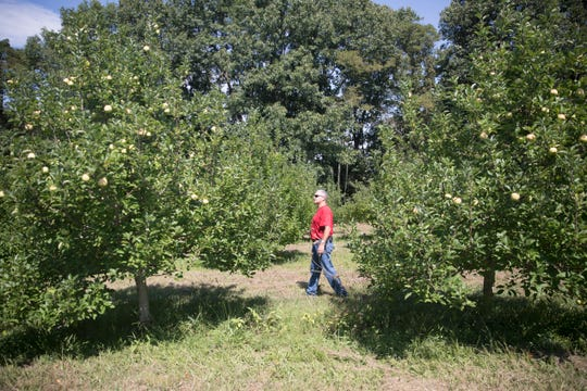 Steve Hirsch walks through one of his apple orchards to see which trees have produced and which ones haven't during the 2018 season.