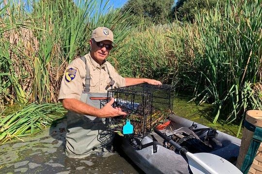 In this photo taken Sept. 12, 2019, Greg Gerstenberg, a senior wildlife biologist with the California Department of Fish and Wildlife, shows a muskrat in a trap intended to catch nutria as he prepares to release it back in a pond in Stevinson, Calif.