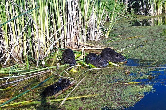 This May 18, 2018, remote camera image provided by the California Department of Fish and Wildlife shows nutria in Merced County, Calif. With $10 million in state funding, the Department of Fish and Wildlife is preparing to deploy new tactics in its efforts to eradicate nutria.