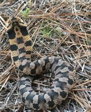 Hognose snakes are often called the drama queens of snakes due to their theatrics when they feel threatened.