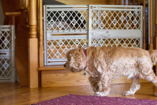 A blind cocker spaniel named Buddy walks tentatively past puppy gates at Gracie's Dog Haven Tuesday, Sept. 24, 2019.
