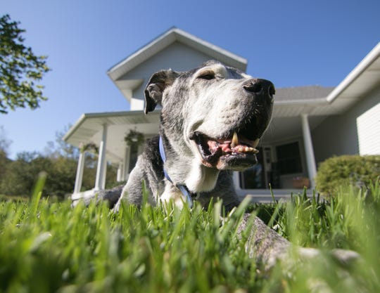 Lucky, the oldest dog at Gracie's Dog Haven at 18, rests on the front lawn of his Oceola Township home Tuesday, Sept. 24, 2019.