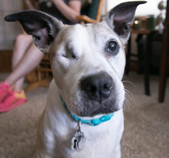 Karma Jane had cataract surgery in both eyes, saving one eye and losing the other. In the background at Gracie's Dog Haven Tuesday, Sept. 24, 2019 is owner Sheila Hall-Gabriel.