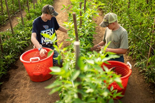 "Dylem Vaughn, left, 15, and his brother Caleb, 12, harvest peppers at Rocky Glade Farm. Mother Julie Vaughn said, ""There are a lot of life lessons that they don't even know they're learning right now. Someday there is going to be something hard in their way… they're going to look back and their farm experience is going to help them get past that hard spot."""