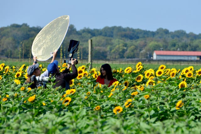 Sunflowers Are In Bloom At Holland Ridge Farms