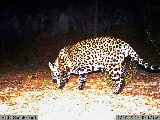 This Dec. 1, 2016 file image from video provided by Fort Huachuca shows a wild jaguar in southern Arizona. The 10th U.S. Circuit Court of Appeals in Denver is scheduled to hear arguments Wednesday, Sept. 25, 2019, from environmentalists and from lawyers representing a group of ranchers and farmers whether tens of thousands of acres in New Mexico should be reserved as critical habitat for the endangered jaguar.