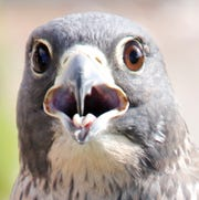 Shadow, a peregrine falcon nursing an injured wing, eyes the camera.