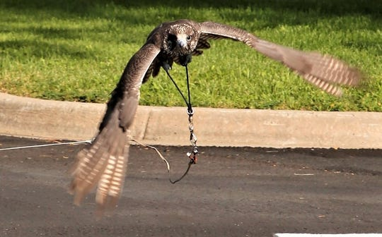 Crash, a hybrid falcon recovering from a concussion, wings his way toward handler Mike Fauteaux during a training session in Aztec.