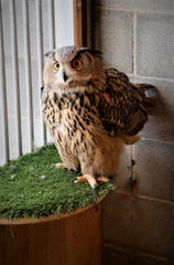 Spooky, a Eurasian eagle owl native to Siberia, rests on a perch in her pen in Aztec.