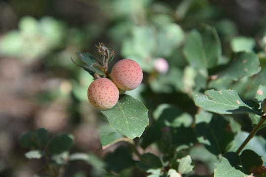 Oak galls contain insect larvae, usually wasps.