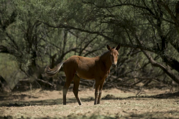 A young horse stands amid the mesquite trees near the Salt River in the Tonto National Forest east of Phoenix.