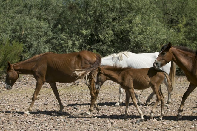 A small group of horses wanders in an area near the Salt River in the in the Tonto National Forest. The horses are among a larger herd that has raised concerns about food and safety.