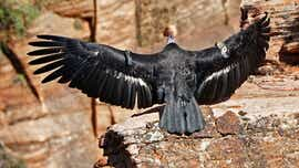 After 100 years, condor could return to northwest