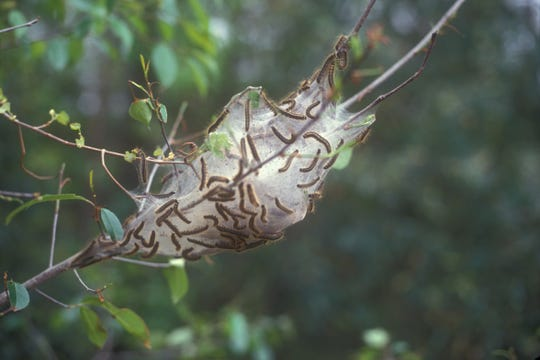 Tent caterpillars are an example of a pest that doesn't need to be controlled with pesticides, as trees can typically handle the damage and the cost of spraying is usually not worth it.