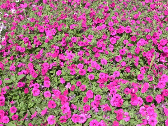 Plant lots of flowers, they make us smile and remind everyone there is beauty even in difficult times.  Petunias, the variety 'Shock Wave Purple' is pictured, as well as a few other annual species perform well with limited water.