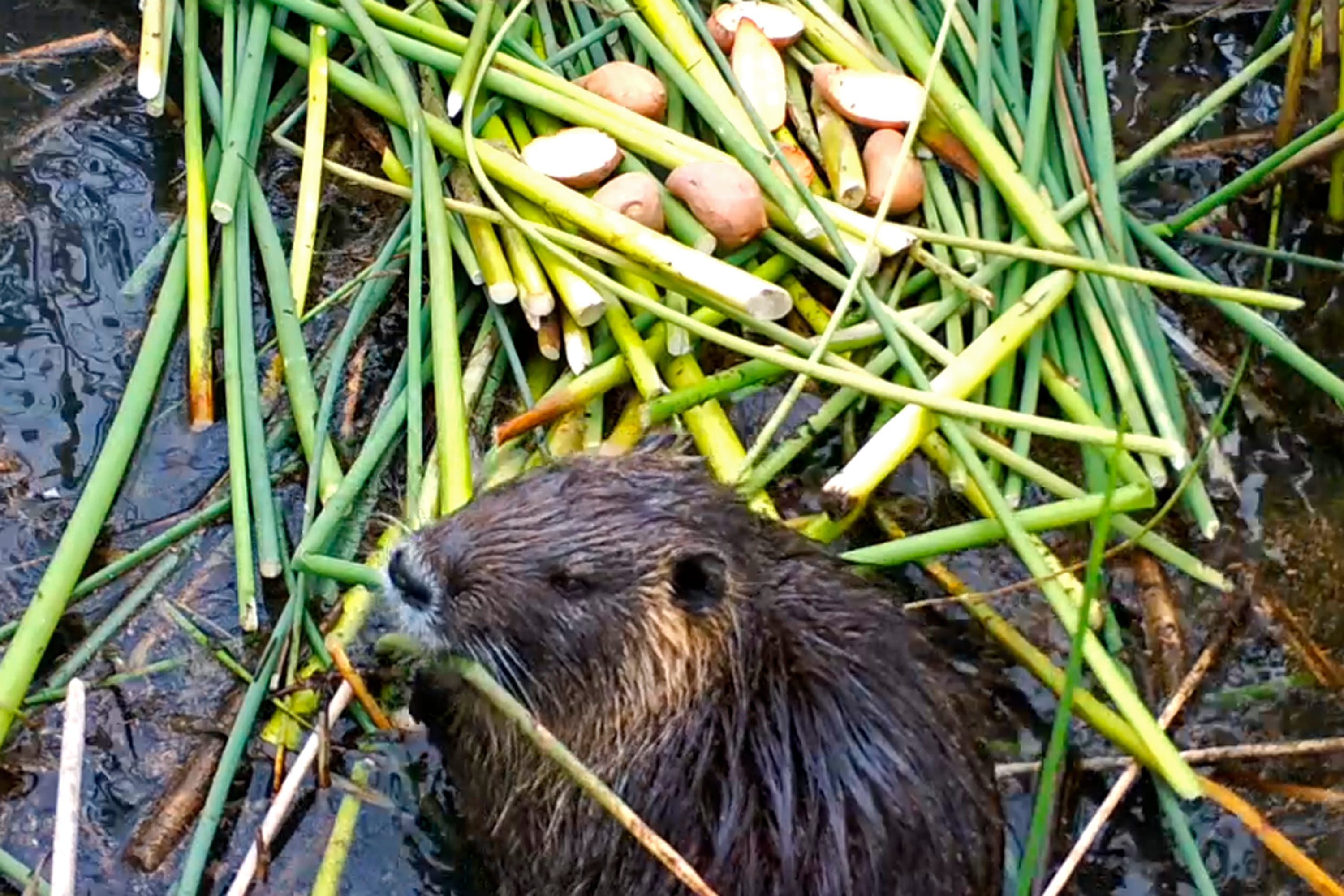 What are nutria? Swamp rodent threatens California's environment