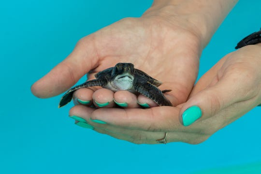 A green sea turtle baby washback is being cared for at the Brevard Zoo.