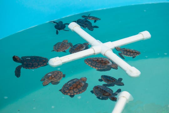 Baby washback turtles are being cared for at the Brevard Zoo.