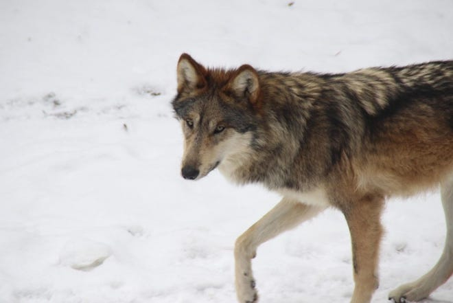 A Mexican gray wolf at the Binder Park Zoo.