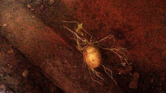 A potato inadvertently became part of the art installation