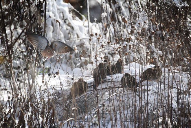 Mourning doves tuck in amid freeze-killed garden stalks, finding protection against the wind and a few degrees of warmth, illustrating why leaving the garden to overwinter helps save birds' lives.