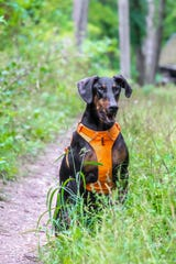 JoePete, the 9-year old Doberman Pinscher.